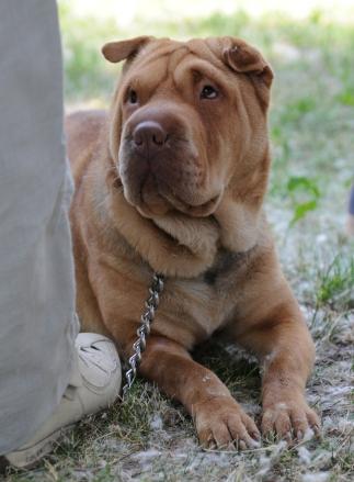Chisinau Dog Show by Natalia Donets