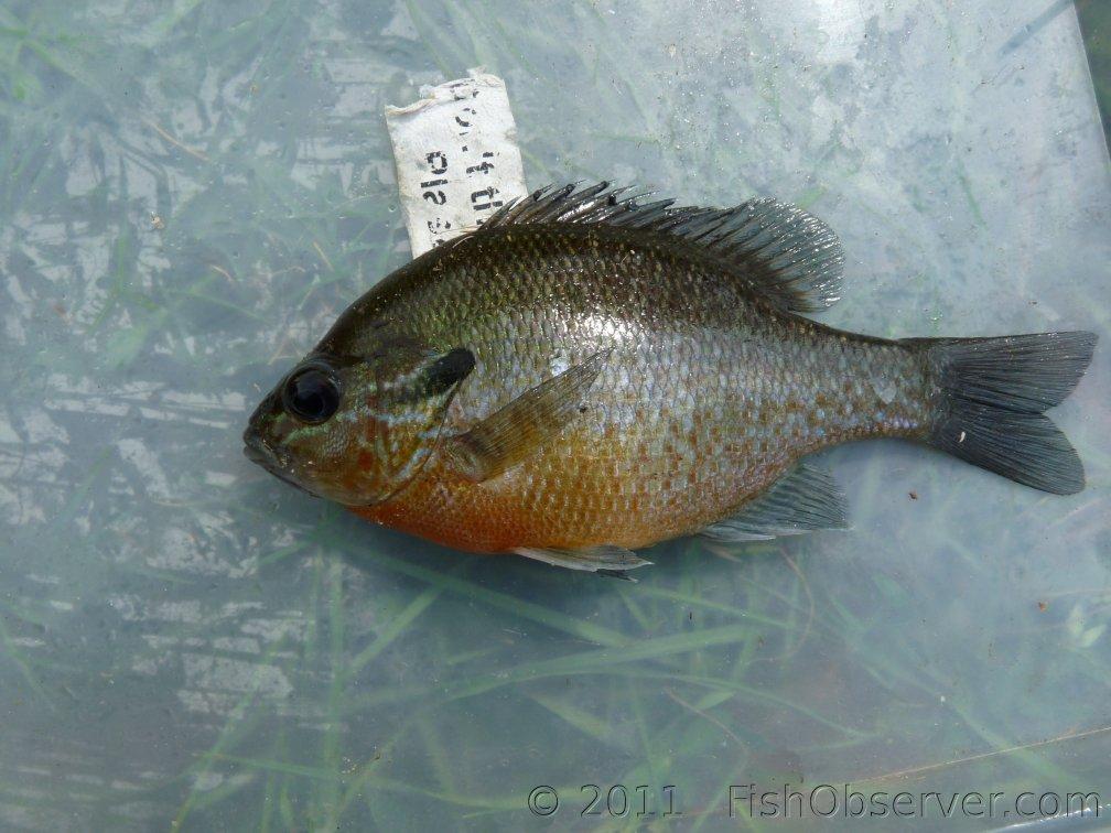 Bream credit: Fishobserver.com