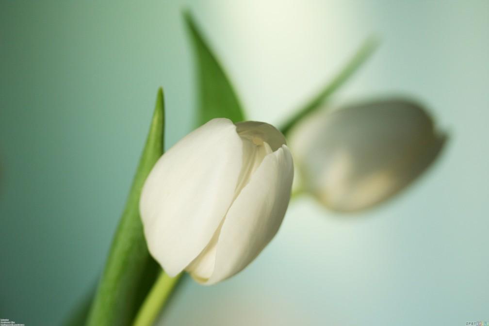 white_tulip_5_3172x2115